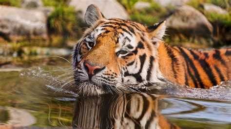 Splitting Tigers Into Subspecies Could Help Save Them From