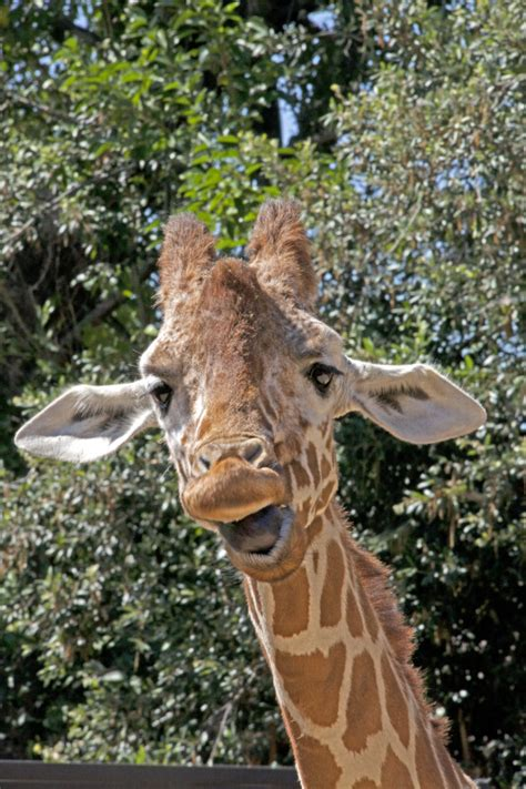 Giraffe with Mouth Wide Open   ClipPix ETC: Educational